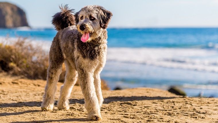 Aussiedoodle The Australian Shepherd Poodle Mix In 2020 Dog