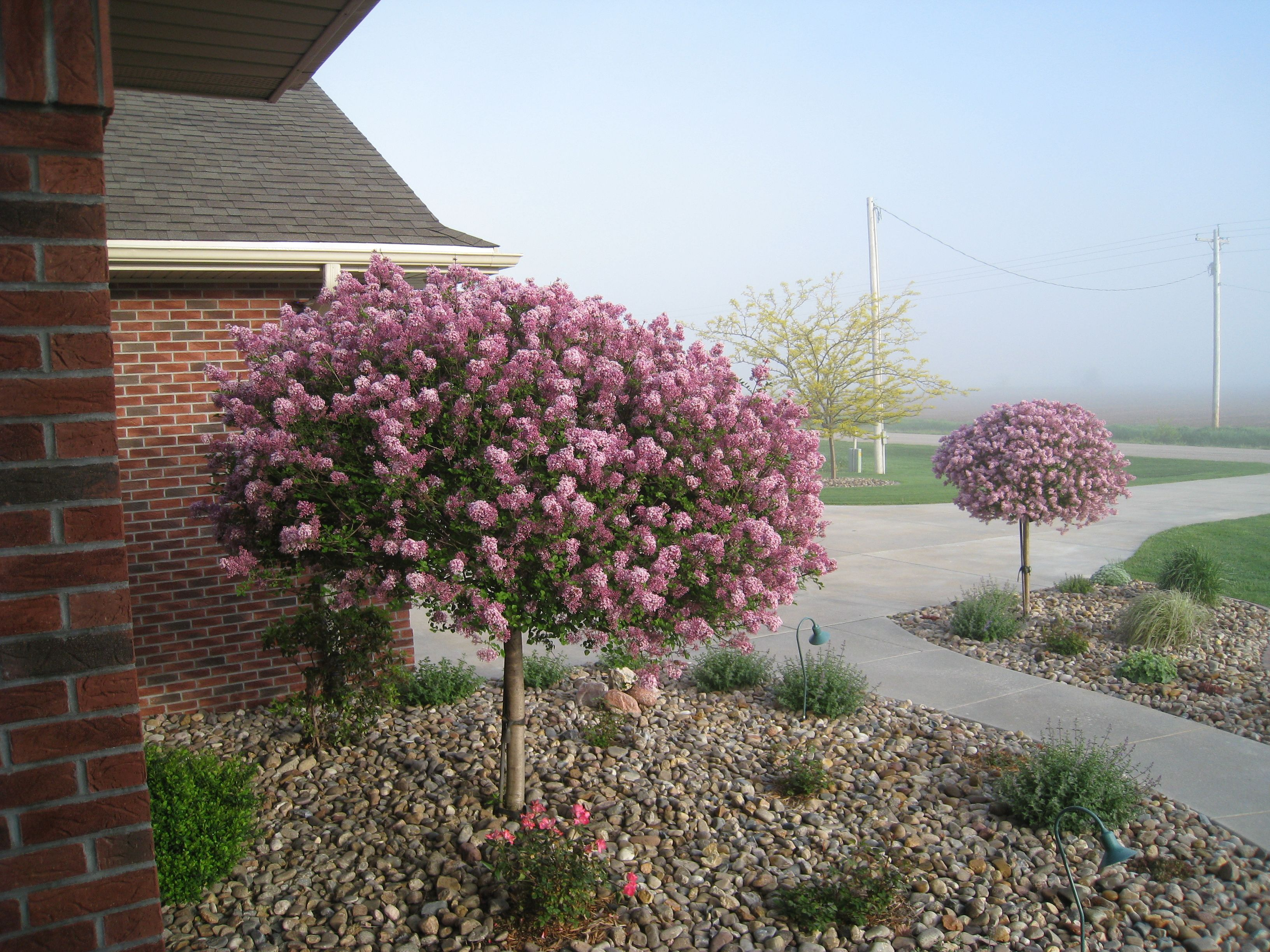 I already have two really large lilac bushes but i think for Large bushes for landscaping