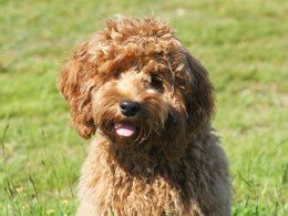 Chocolate cockerpoo Cockapoo, Dog breeds, Cockapoo dog