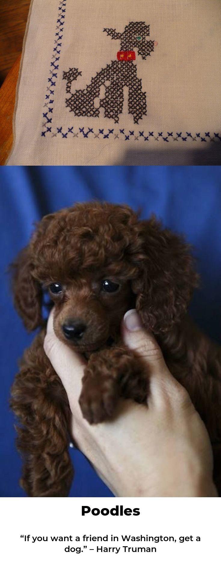 Poodle Love Poodlecross Poodle Tiny Toy Poodle Poodle Dogs