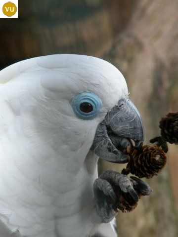 Vẹt mào mắt xanh Papua New Guinea | Blue-eyed cockatoo (Cacatua ophthalmica)(Cacatuidae) IUCN Red List of Threatened Species 3.1 : Vulnerable (VU) | (Loài sắp nguy cấp)