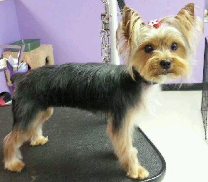 Asian Style Yorkie Yorkie Grooming Style Dog Grooming