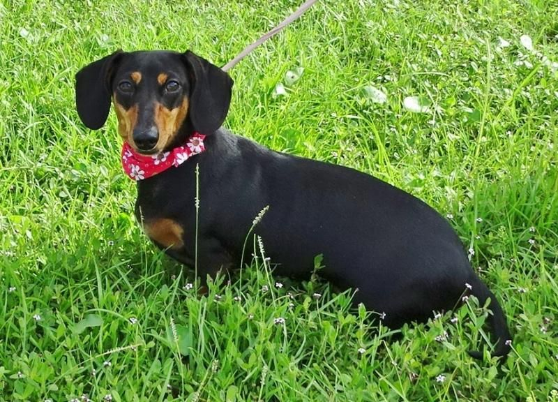 Adopt Sassy Britches On Black Tan Dachshund Dachshund Humane