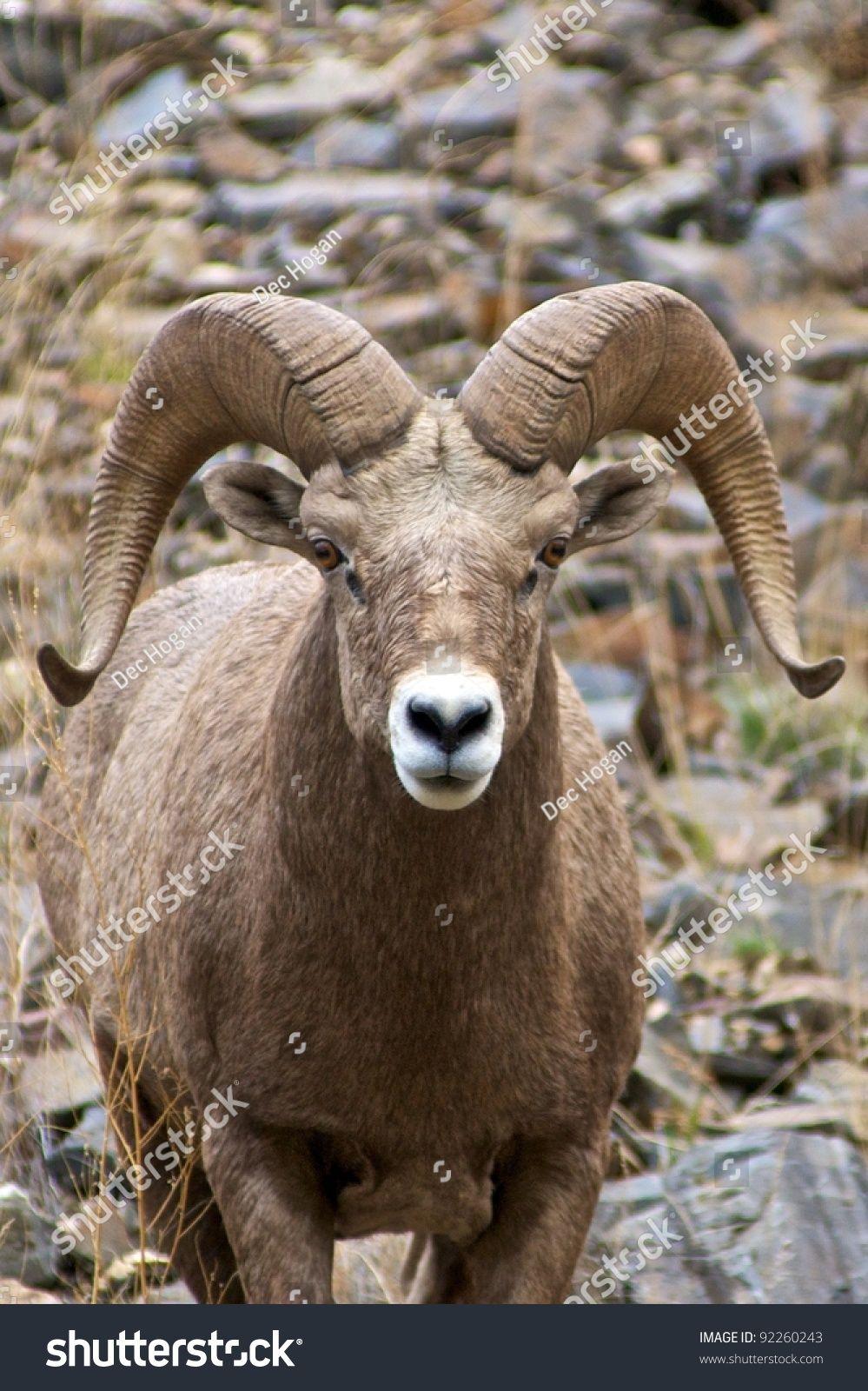 Wild bighorn sheep (Ovis canadensis) in Idaho ...