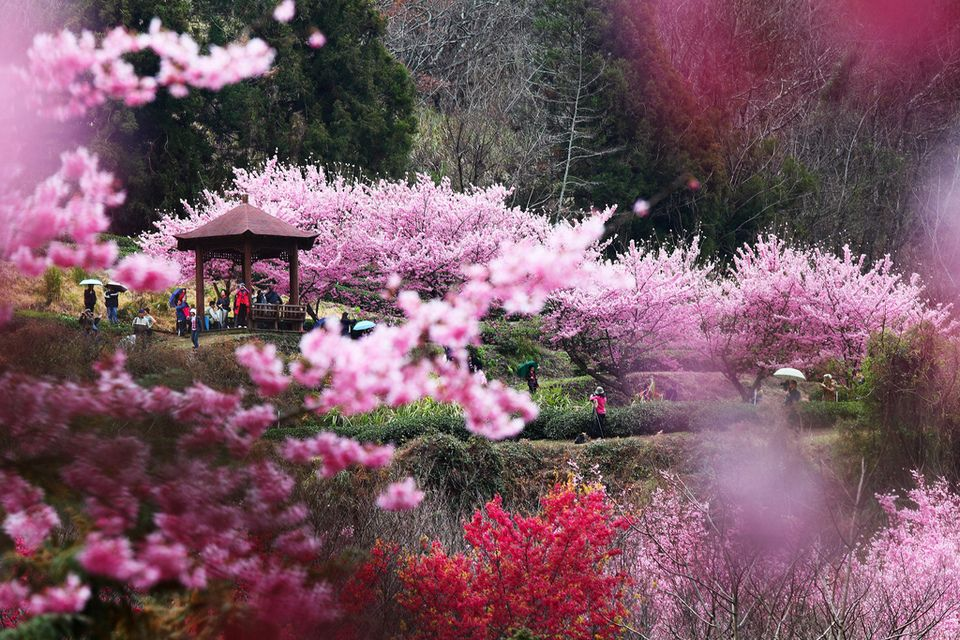 Cherry Blossom In Taiwan 2021 Forecast The Best Time 8 Best Places To See Cherry Blossoms In Taiwan Living Nomads Travel Tips Guides News Informat