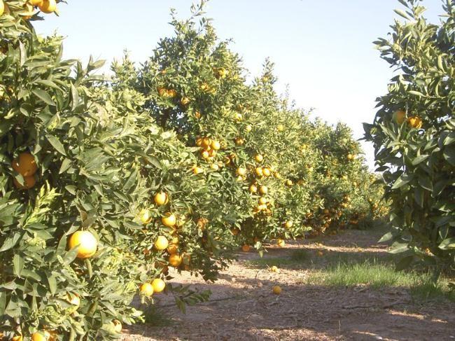 La entidad aporta el 50 por ciento de producción de naranja, dice Sedarpa | La Jornada Veracruz, HECTÁREAS CULTIVADAS CON CÍTRICOS Y AGRO INDUSTRIAS  Más de 192,000 hectáreas 74 empacadoras 9 jugueras 3 gajeras