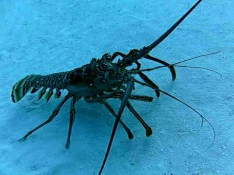 ▶ Large Caribbean Spiny Lobster Walking in the Sand - YouTube