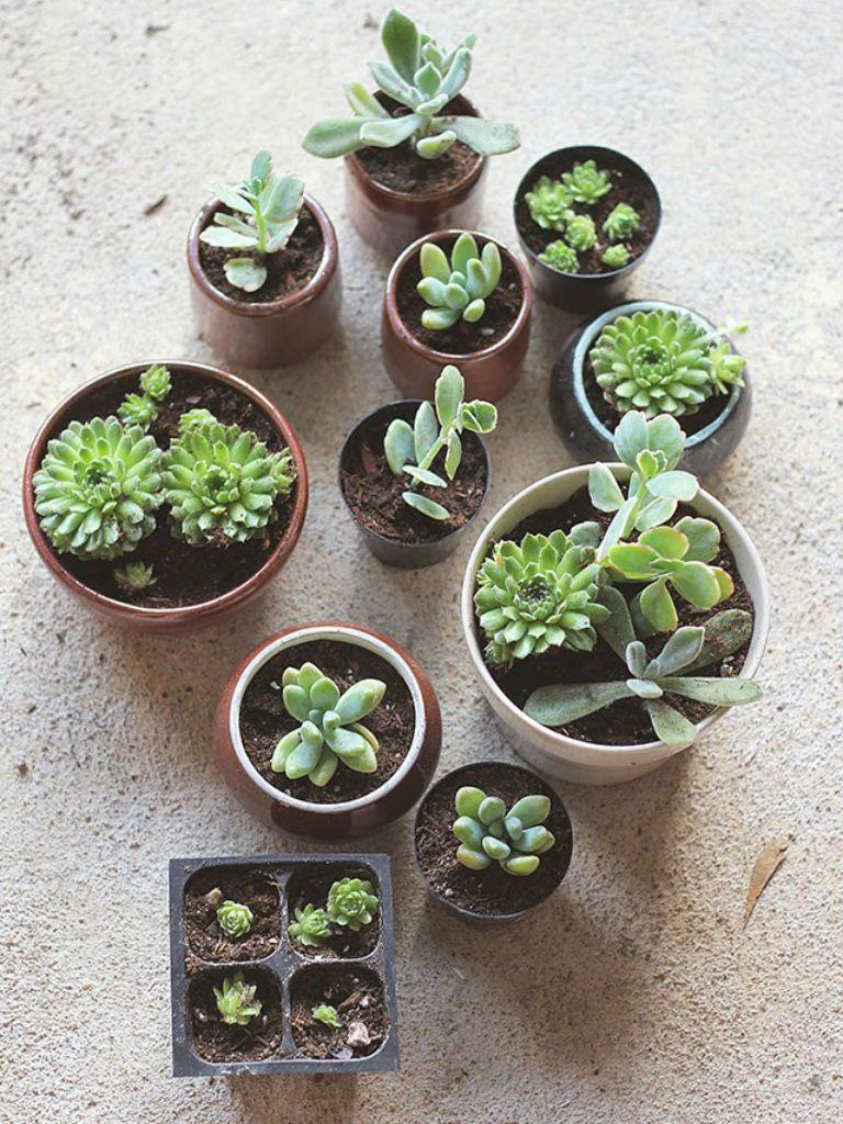 How to repot succulents succulents repotting succulents