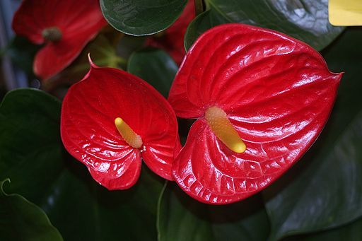 Anthurium Red Anthurium Anthurium Artificial Flowers Pretty Flowers