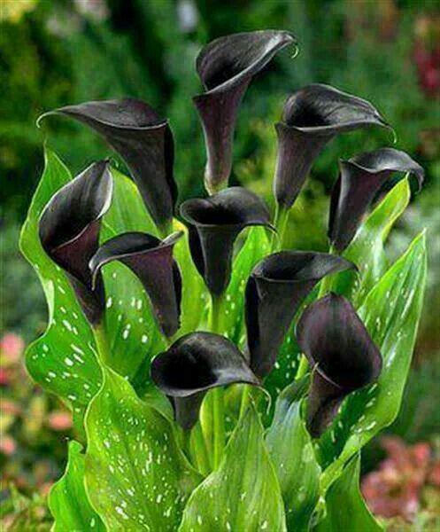Calla Lily Bulbs Perennial Fragrant Impressive Rare Flower Inside Blue Plant Top