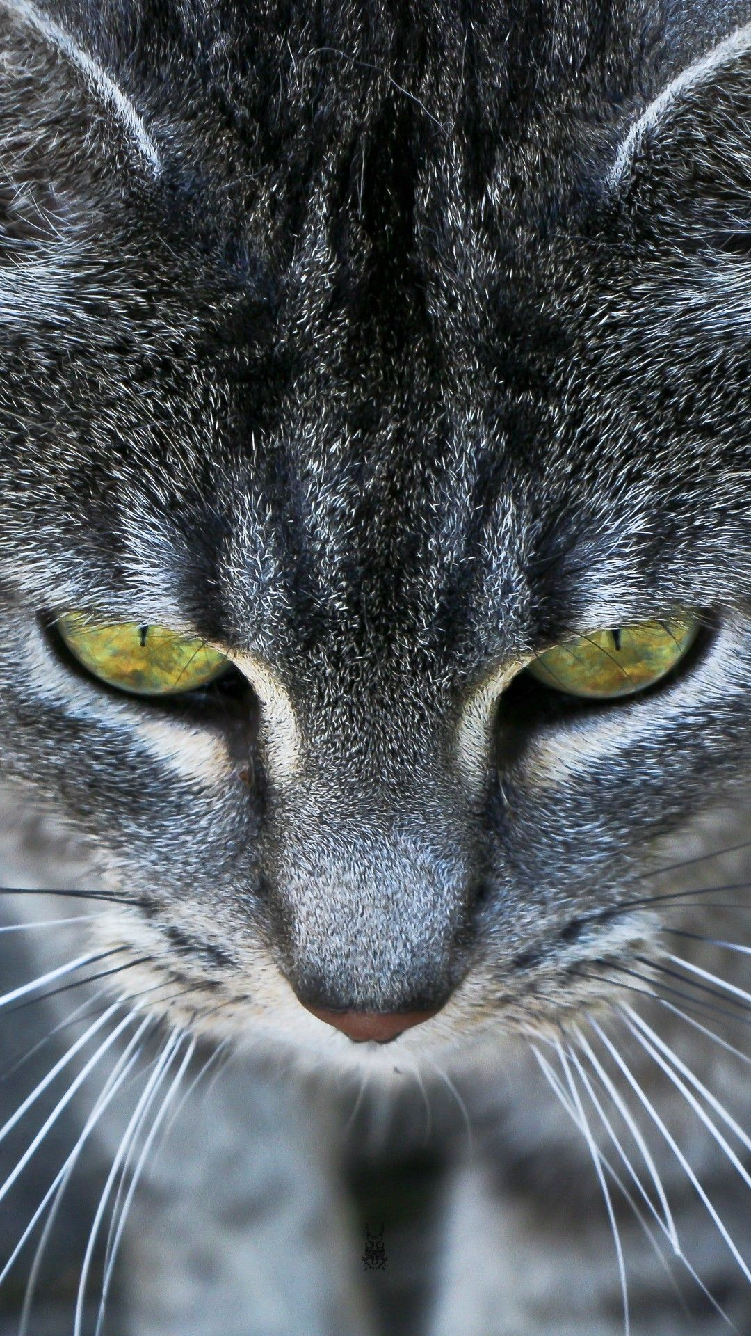 Animals iPhone 6 Plus Wallpapers Grey Cat Ember Eyes
