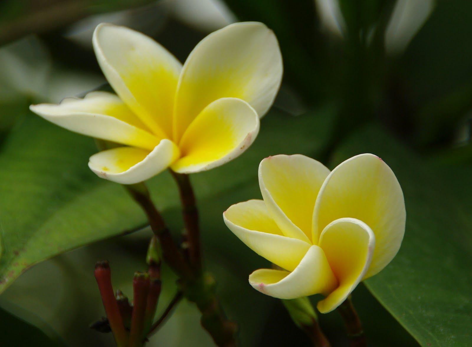 Yellow Jasmine Flower Pion Flowers