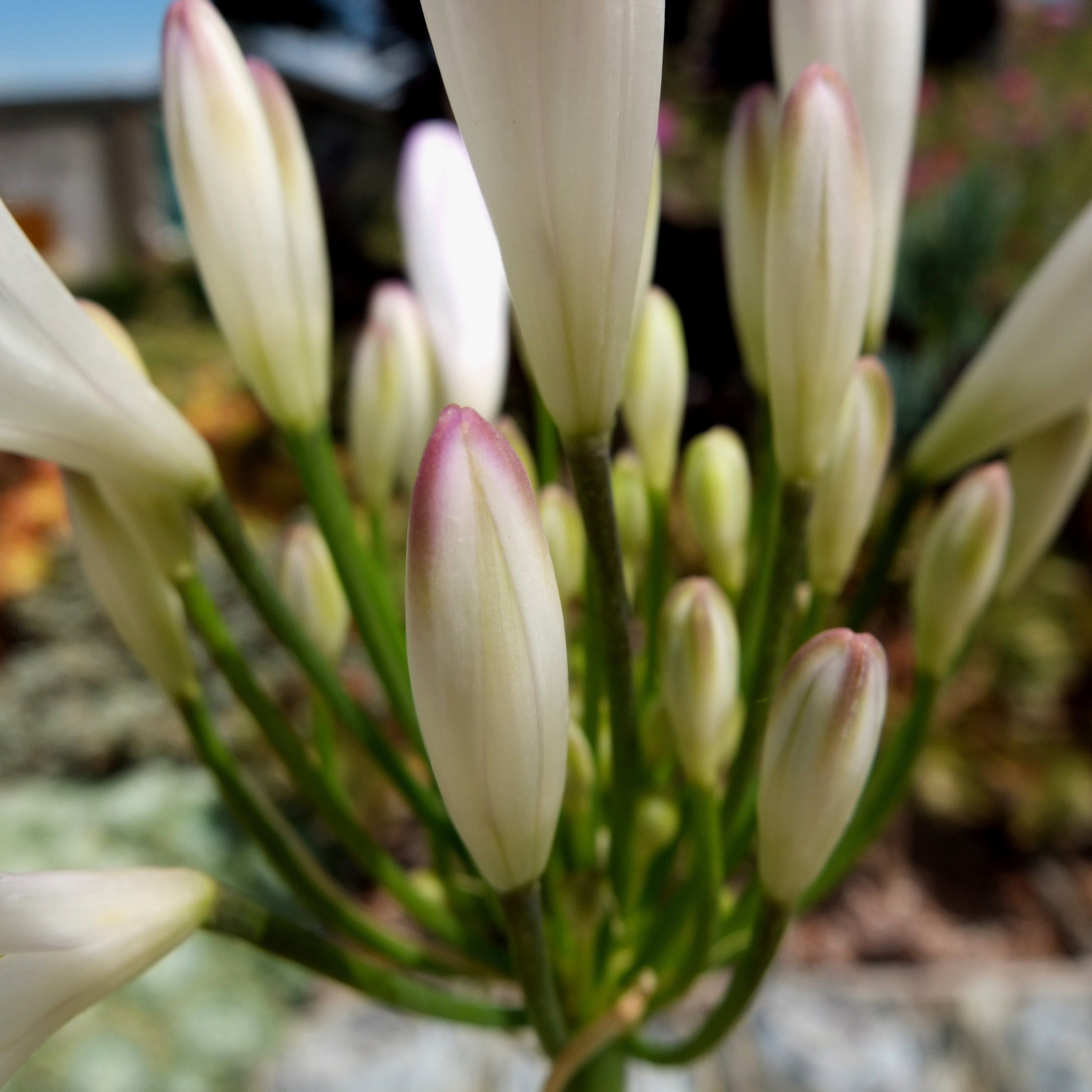 On Sale Agapanthus Strawberry Ice African Lily Garden Plant Hardy Plant Now 11 92 Gbp In 2020 Lily Garden Hardy Plants African Lily
