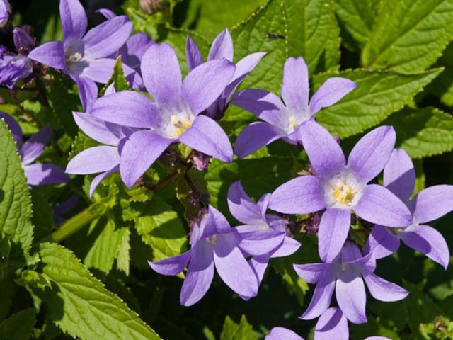 Campanula lactiflora milky bellflower cottage garden plants 7 8 provides a stately presence in the garden with its tall multi branched stems producing hundreds of small lavender or white star like flowers in open mightylinksfo