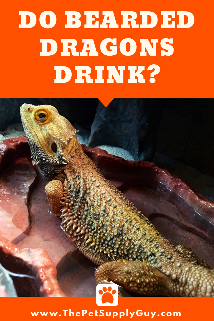 How Do bearded Dragons Drink Water How Do bearded Dragons Drink Water (Bearded Dragon Care)