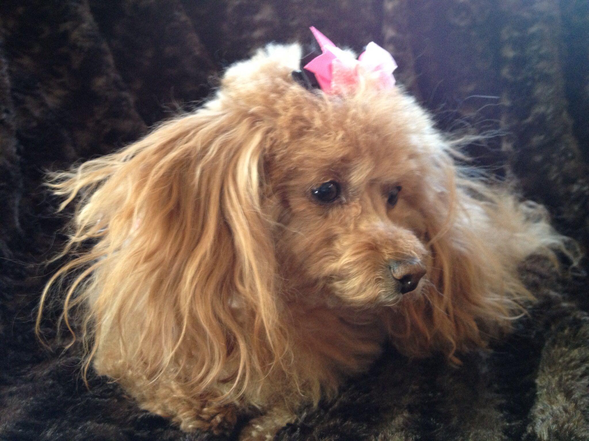 1369 best poodles images on pinterest standard poodles poodle