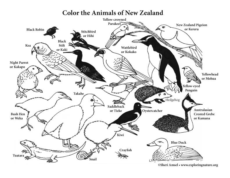 New Zealand Color Pages Kiwi Bird Bird Crafts Preschool Bird