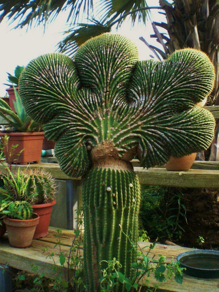 Cactus - Southern cactus -- This would be a great attention getter if place just right in my front yard.