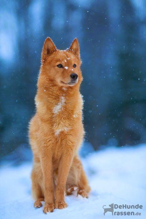 Finnischer Spitz raredogbreeds Dogs, Animals, Spitz dogs