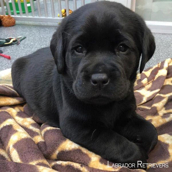 Lab Retrievers Pup Labradorsofig Labradorchocolate Labrador Retrievers Zwarte Lab Puppies Schattigste Honden