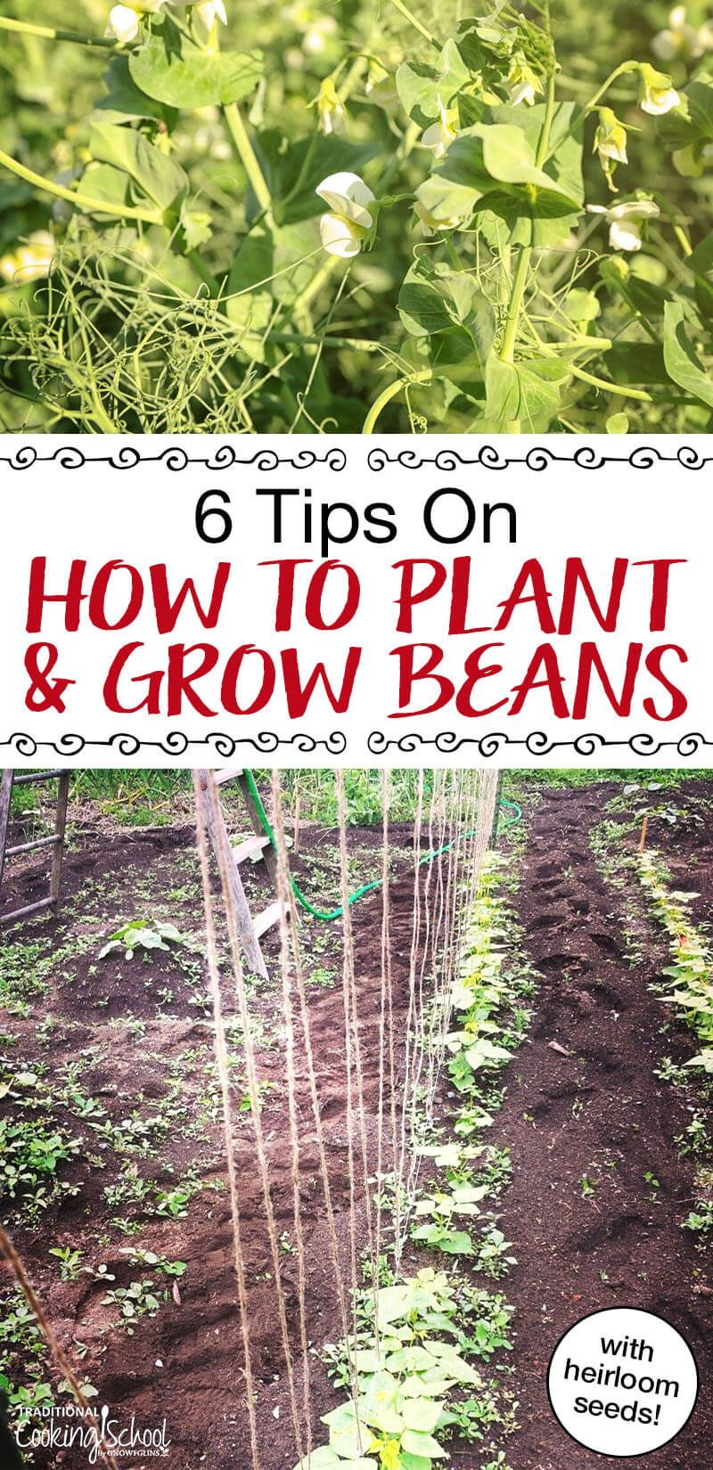 How To Grow Green Beans 6 Tips Growing Green Beans Growing Bush Beans Growing Green Beans Trellis