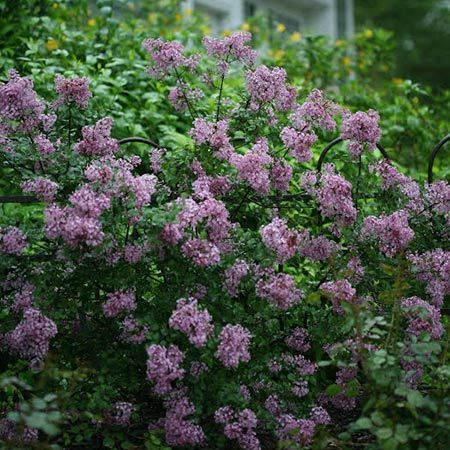 Reblooming Lilac in colors from pink to magenta - Enjoy your own butterfly garden with this consistently reblooming lilac.The Bloomerang® Lilac has a sweet fragrance and attracts hummingbirds as well. It's not susceptible to common diseases and does best in fertile, well drained soils. It is low upkeep; prune lightly and fertilize to encourage...