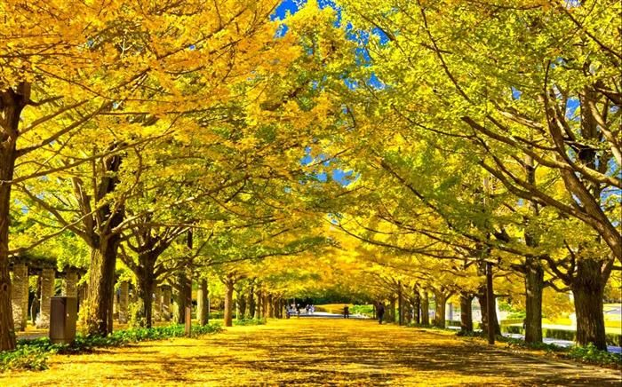 """Túneles De Árboles; Túnel de Ginkgo.- Tokio Más de 65,000 ginkos se alinean en las calles de Tokio. Este árbol es considerado por los japoneses como """"El portador de Esperanza"""" ya que algunos de ellos sobrevivieron al bombardeo de Hiroshima. El de la foto es el jardín de Meiji Shrine."""