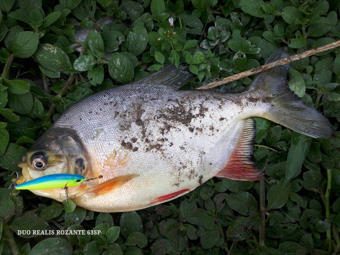 Fish-Pacu Lure-DUO Realis Rozante 63SP