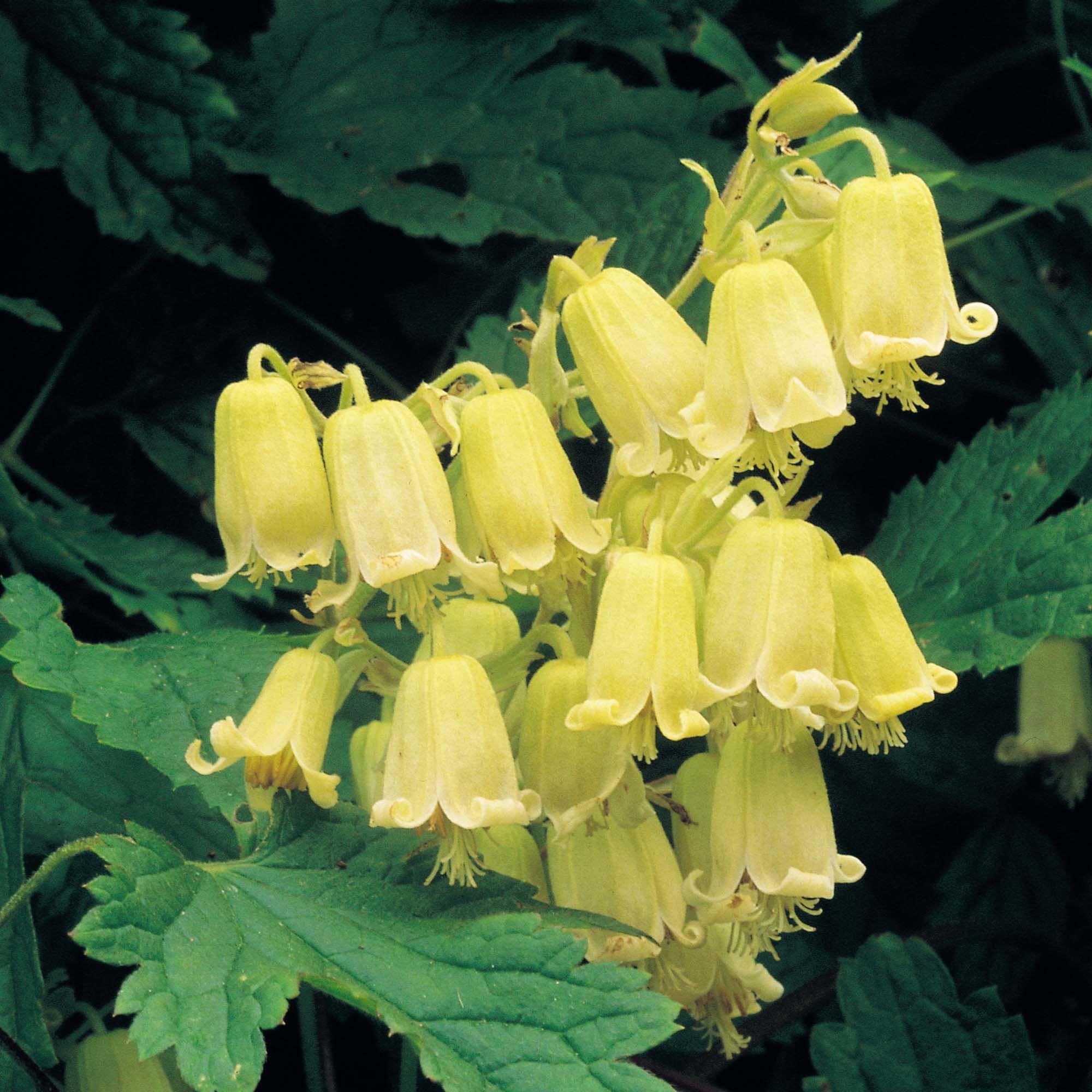 Climbing Vine With Yellow Flowers Priya Pinterest Clematis