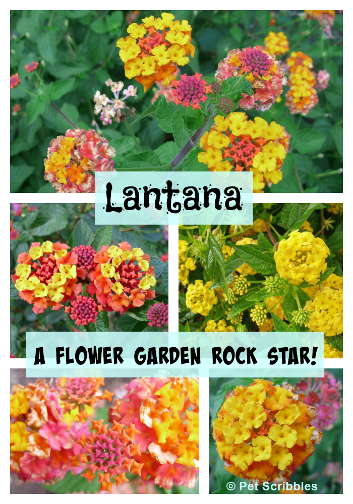 Lantana A Flower Garden Rock Star Pet Scribbles Backyard Flowers Garden Backyard Flowers Lantana