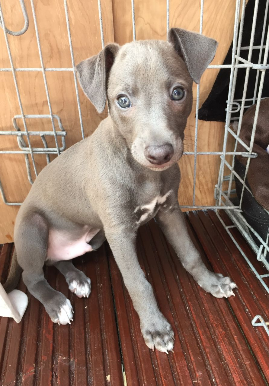 Italian Greyhound X Whippet Puppies York North Yorkshire Pets4homes Whippet Puppies Baby Dogs I Love Dogs