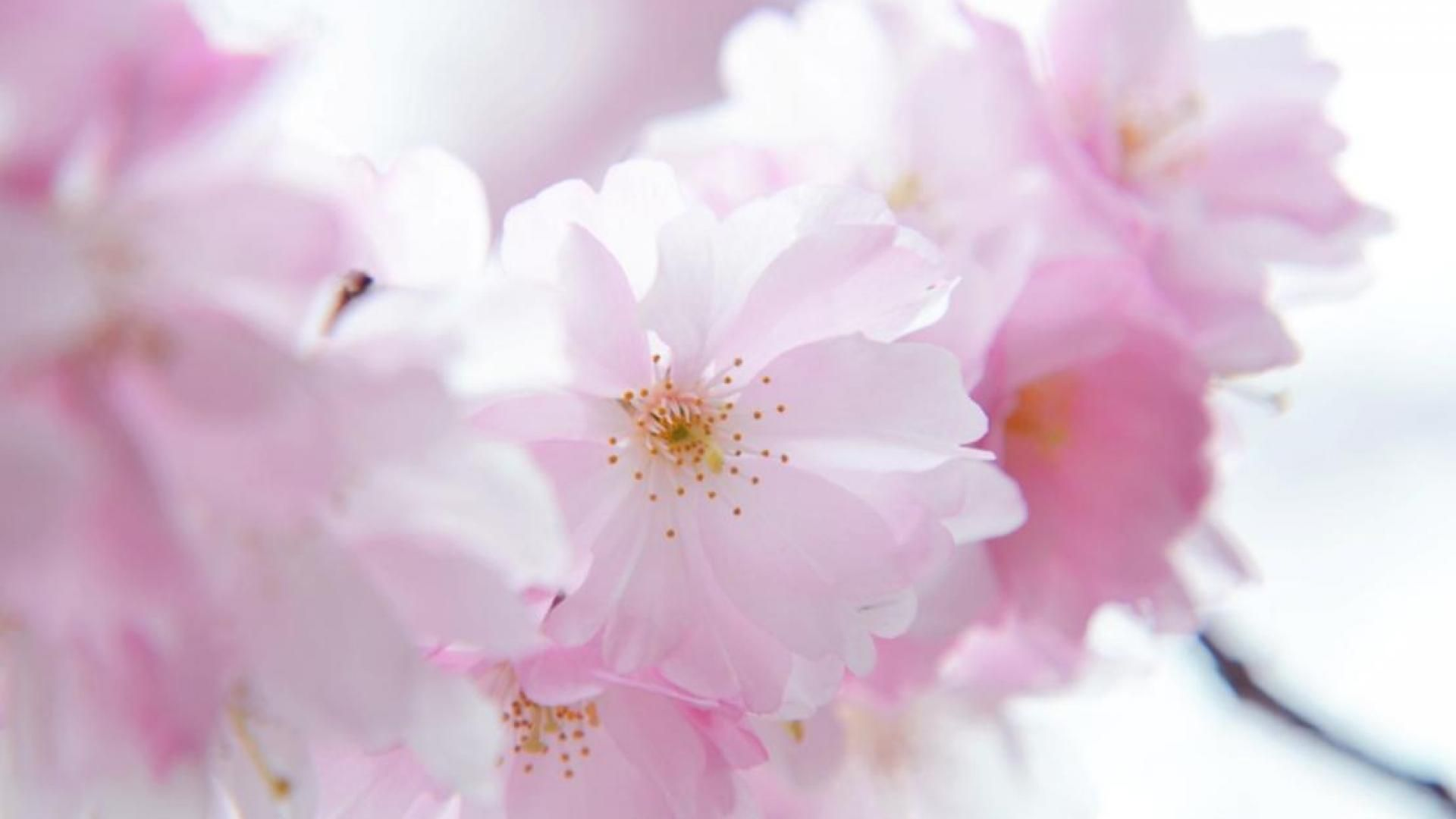 Cherry blossom white flowers branch close up hd wallpaper zoomwalls - Cherry Blossom White Flowers Branch Close Up Hd Wallpaper Zoomwalls 6