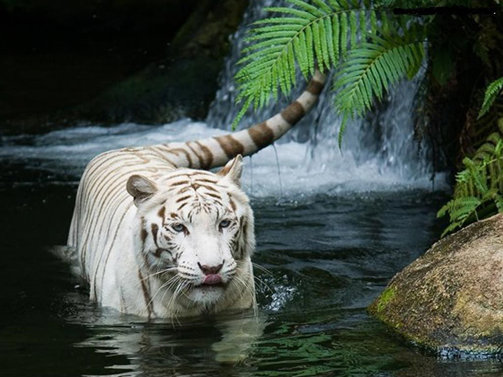 1080p Hd Beautiful Animal Wallpapers High Quality Desktop Iphone And Android Background And Wallpaper Anim In 2020 Tiger In Water Animals Beautiful Tiger Pictures