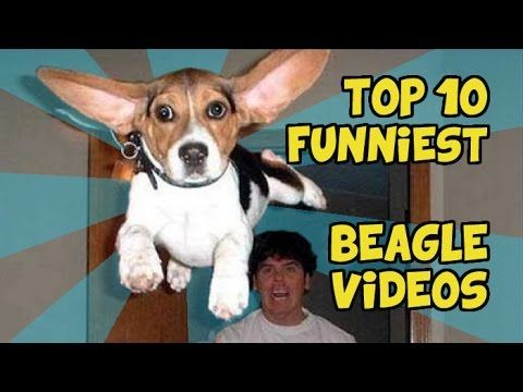 10 Funniest Beagle Videos Youtube With Images Beagle 10