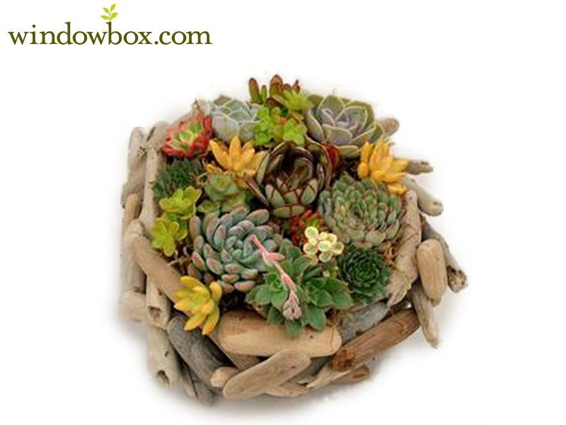 Round Driftwood Planter with Live Succulents
