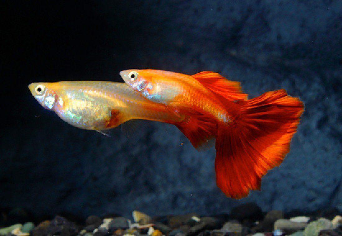 Red Fire Guppy Pair – Live Freshwater Tropical Aquarium Fish ...