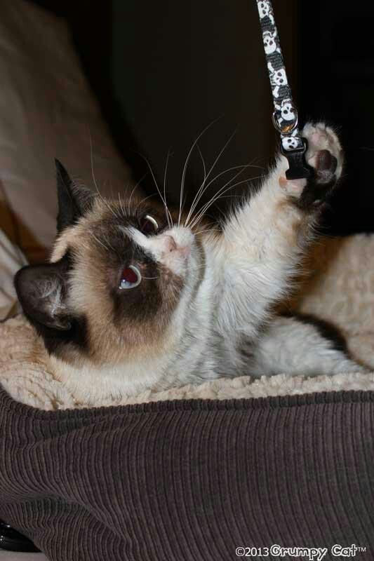 Grumpy Cat playing