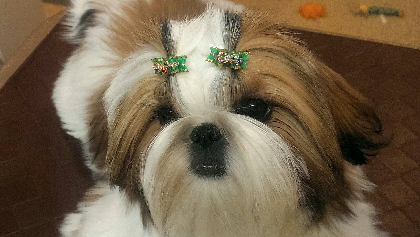 Doggie Bow Ties Maltese Crystal Pairs Modeled By 3 Mr Foo S