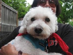 Bartles Is An Adoptable Bichon Frise Dog In Seattle Wa