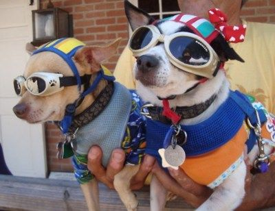 Chihuahuas Wearing Coordinated Outfits And Doggles For Cinco De