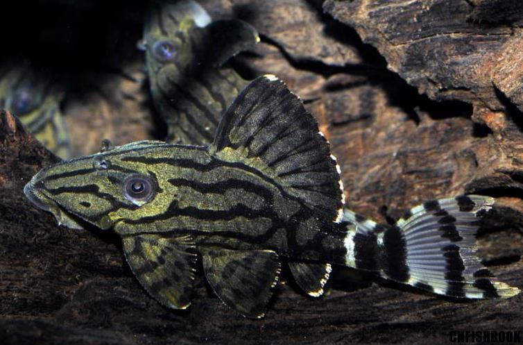 Panaque Cf Suttonorum L191 Dull Eyed Royal Pleco Aquarium Catfish Cichlid Fish American Cichlid