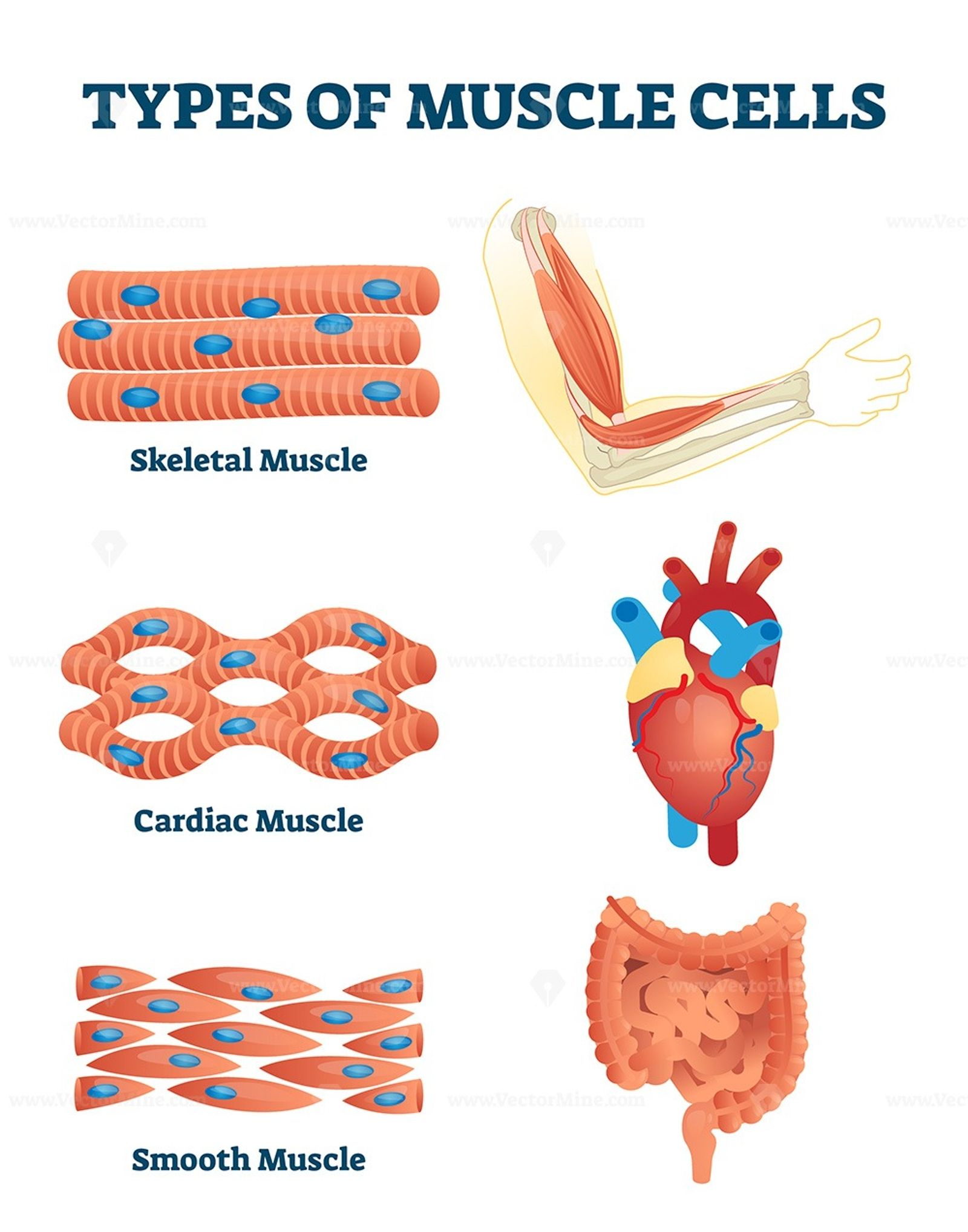 Types Of Muscle Cells Vector Illustration In
