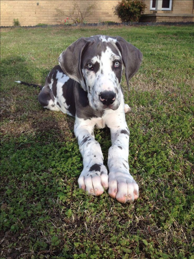 Photo of More About The Noble Great Danes Pups Health #greatdanecentral #greatdanemama #g…