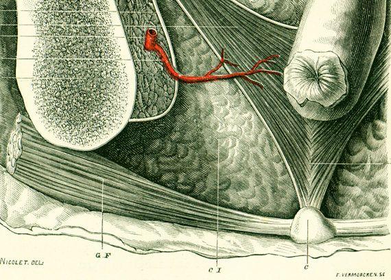 1897 Pelvis rectal area, Antique Anatomy, French Antique Print, 19th ...