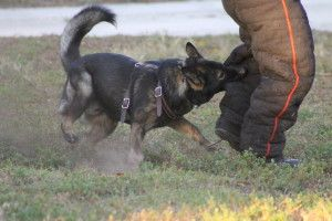 Channeling Aggression Training To The Street K9tec Llc Executive Protection Aggressive Animals
