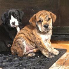 English Bulldog Golden Retriever Mix Hybrid Dogs Labrador Retriever Puppies Golden Retriever