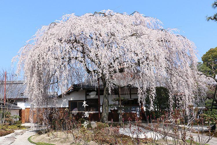 京都 在巷弄中綻放優雅氣勢的枝垂櫻 本山本滿寺 Kyoto Japan