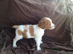 Pin By Kelsey Castriota On Animals Brittany Spaniel Puppies