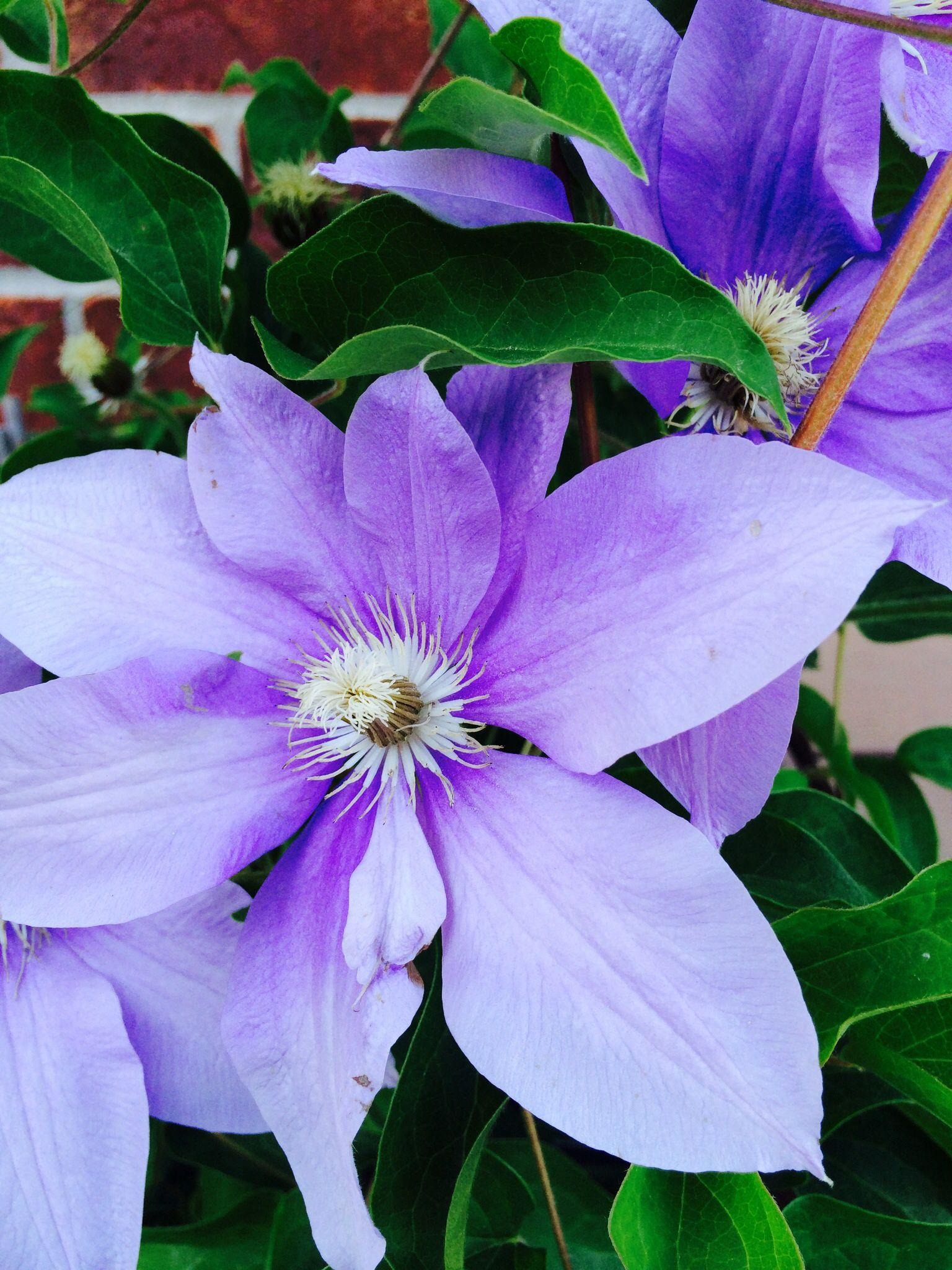 Purple clematis. Purple clematis, Flower names, Clematis