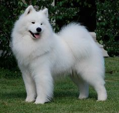 Yes, please!! Samoyed dog! I just know this will be the kind of dog I have…